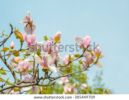 Opened pink magnolia flower among the branches of the tree. Out of the sky on a sunny spring day. Spring, seasons, time of year.  - stock photo