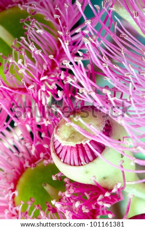 Opening bud and flowers of Eucalyptus sideroxylon. Shot from underneath. - stock photo