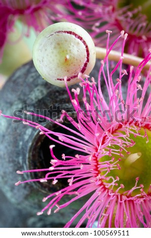 Opening bud, flower and gum nut of Eucalyptus sideroxylon. Shot from underneath. - stock photo