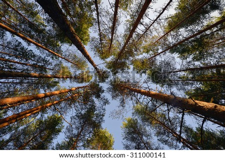 Opening of blue sky between pine trees branches in forest - stock photo