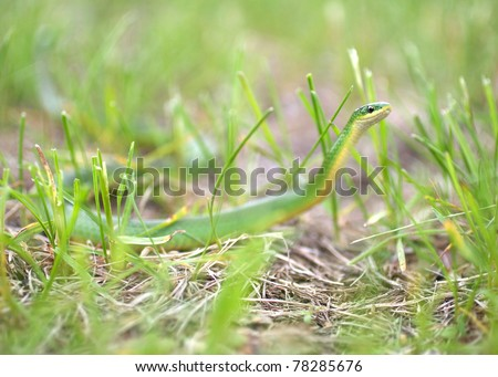 Opheodrys vernalis Smooth Green Snake Huntin in Grass - stock photo