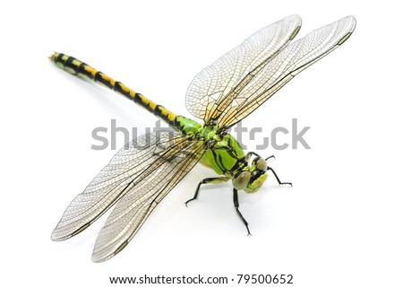 Ophiogomphus cecilia. Green Snaketail dragonfly on a white background.