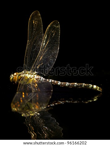 Ophiogomphus cecilia. Green Snaketail dragonfly on black background - stock photo