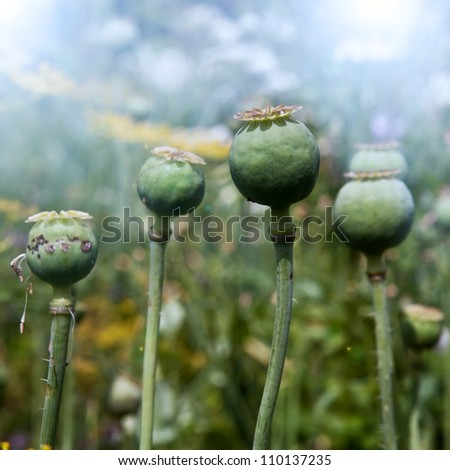 Opium poppy, field out of focus in background.