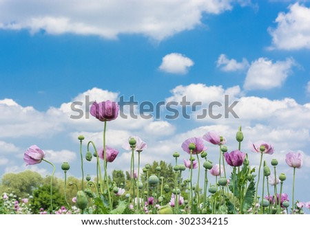 Opium Poppy Field over beautiful cloudy sky