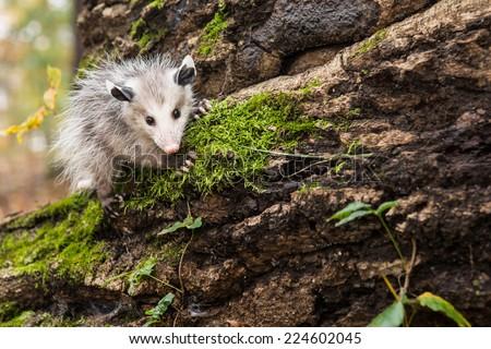 Opossum  - stock photo