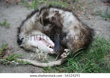Opossum either dead or playing possum which is pretending to be dead - stock photo