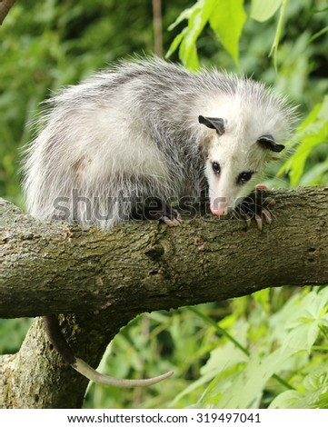 Opossum in a tree - stock photo