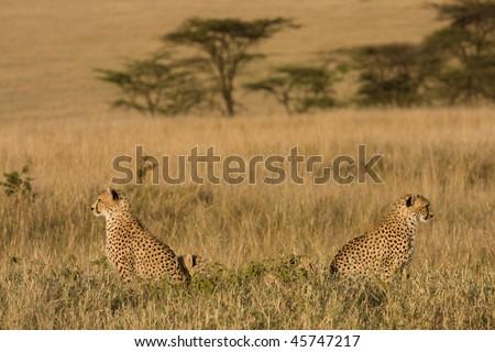 Opposing cheetahs - stock photo