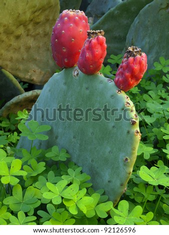 Opuntia cactus wanton whit trefoils - stock photo