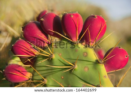 Opuntia ficus-indica (prickly pear, indian fig, barbary fig) - ripe tasty fruits . Scenic green-pink cactus with long spines (Canary islands, Tenerife, Spain). Natural background. Close up. Outdoor. - stock photo