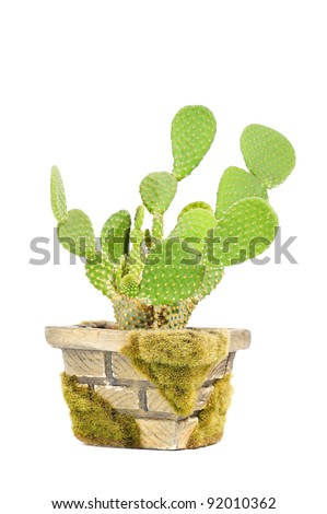 Opuntia Microdasys (Bunny Ears Cactus) in Pot Isolated on White Background - stock photo