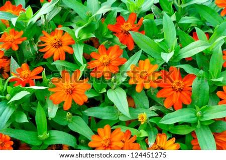 Orage Cosmea Rose. Beautiful Cosmos Flower - stock photo