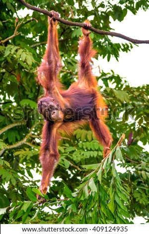 Oran Utan, tree,  - stock photo