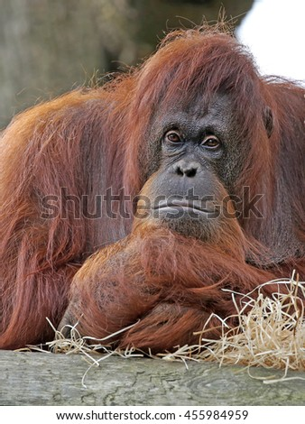Orang utan - stock photo