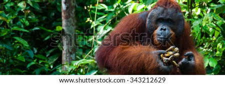 Orang Utan alpha male standing in Borneo Indonesia, Kalimantan Tanjung Puting - stock photo