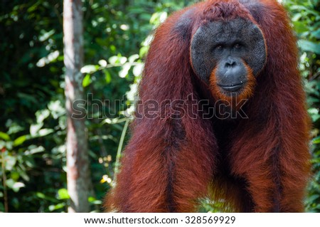 Orang Utan alpha male standing in Tanjung Puting National Park Kalimantan Borneo Indonesia - stock photo