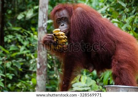Orang Utan eating Bananas in national park Tanjung Puting Kalimantan Borneo Indonesia - stock photo