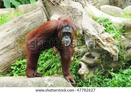 Orang Utan, Gorilla In The Zoo - stock photo