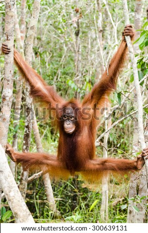 Orang-utan hanging in the trees in Tanjung Puting, Kalimantan, Indonesia - stock photo