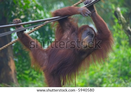 orang utan in action