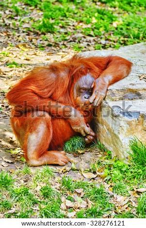 Orang Utan in its natural habitat in the wild. - stock photo