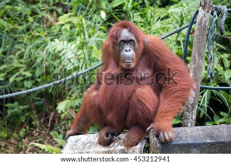 Orang Utan in Semenggoh Nature Reserve    Borneo Malaysia - stock photo