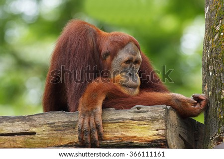 orang Utan in Semenggoh Wildlife Rehabilitation Centre (Pongo pygmaeus) - stock photo