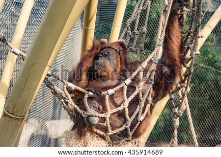orang-utan lying in hammock at park in germany - stock photo