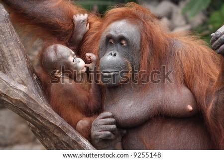 orang utan mother and baby - stock photo