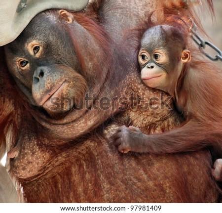 orang utan mother and her little baby - stock photo