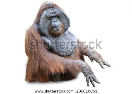 Orang utan sitting on white background - stock photo