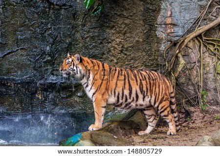 Orange and black striped bengal tiger standing on the rock