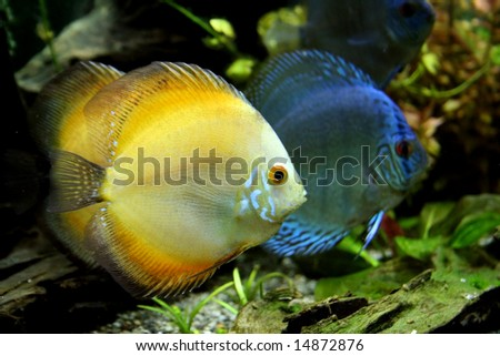 Orange and Blue Discus Fish in a tropical freshwater aquarium - stock photo