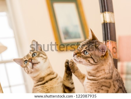 Orange and brown bengal kitten cat looking at reflection in mirror - stock photo