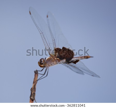 Orange and brown dragonfly looking for a meal from a branch - stock photo