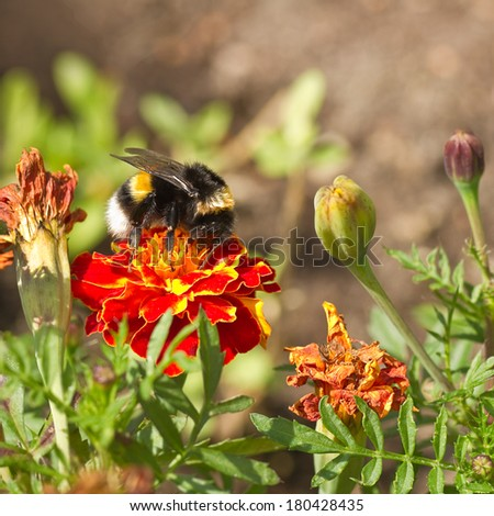 Orange and red French marigold or Tagetes patula with bumble bee and dried flowers in summer - square - stock photo