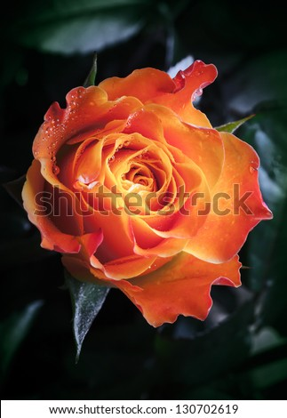 Orange and red rose flower with water drops - stock photo