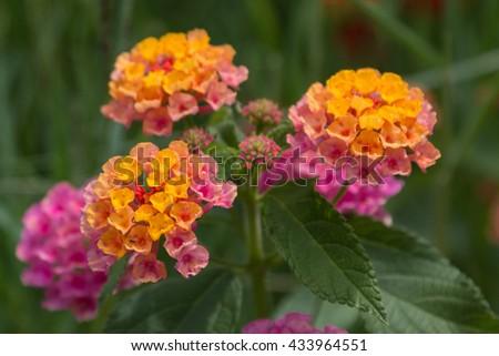 Orange and Violet Flower Lantana Camara - stock photo