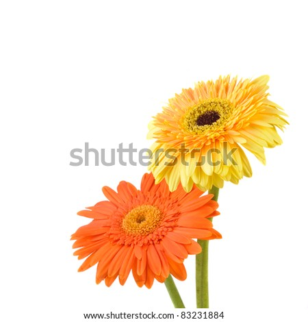 Orange and yellow  daisy-gerbera isolated on white with copy space. - stock photo
