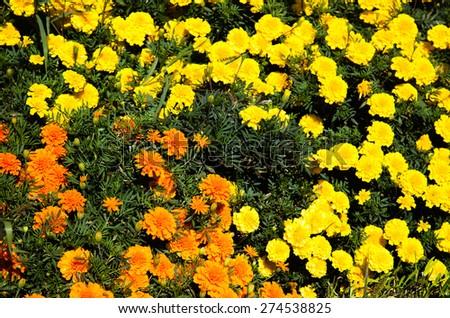 Orange and yellow flowers - stock photo