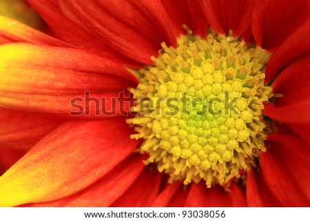 Orange and yellow gerber flower close up, in summer of thailand - stock photo