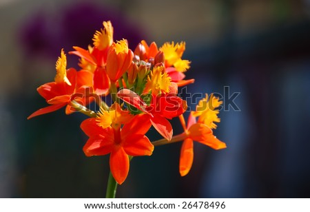 Orange and yellow orchid in sunlight with a dark background. - stock photo