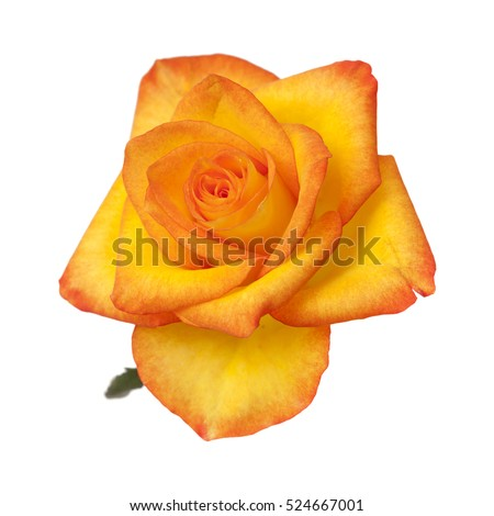 orange and yellow rose isolated on white background