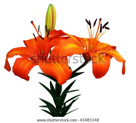 Orange Asiatic Lily isolated with clipping path