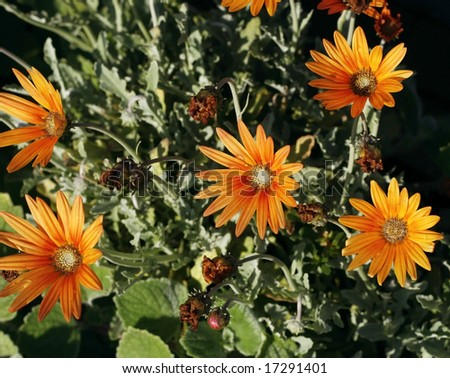 orange aster flowers