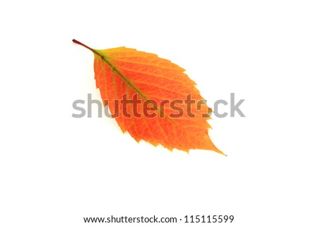 Orange autumn leaf - stock photo