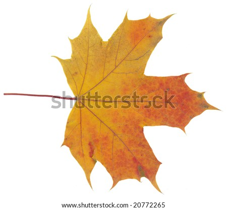 orange autumn leaf isolated on white