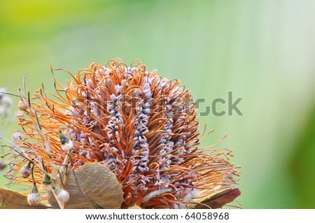 Orange Banksia flower closeup - stock photo