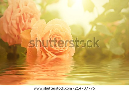 Orange beautiful  rose growing in the garden with water reflection, vintage retro hipster image - stock photo